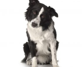 Dresser un border collie via internet